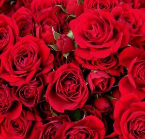 Розы оптом из Эквадора