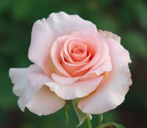 Роза из Эквадора
