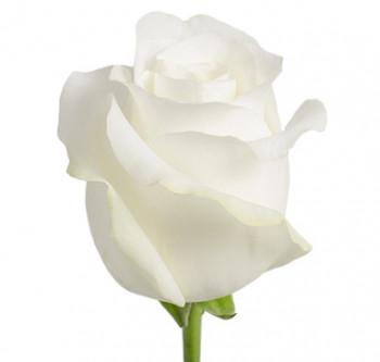 Розы сорта Akito оптом из Эквадора