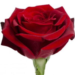 Розы сорта Black Magic оптом из Эквадора