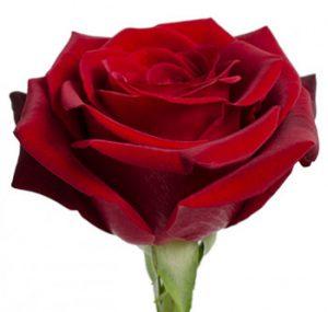 Оптовые поставки красной розы из Эквадора