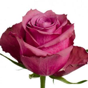 Розы сорта Blueberry оптом из Эквадора