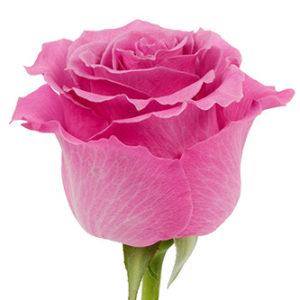 Розы сорта Breathless оптом из Эквадора