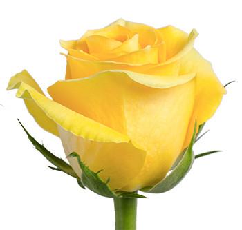 Розы сорта Brighton оптом из Эквадора