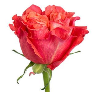 Оптовые поставки розы сорта Carabella из Эквадора