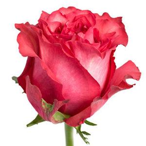 Оптовые поставки розы сора Caralinda из Эквадора