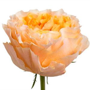 Заказать оптом розы сорта Caraluna из Эквадора