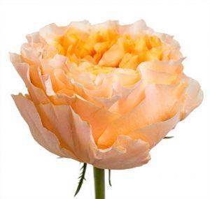 Оптовые поставки садовой розы из Эквадора