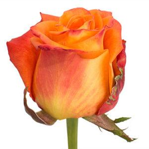 Оптовые поставки розы сорта Careless Whisper из Эквадора