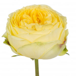 Роза сорта Catalina оптом из Эквадора