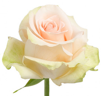 Розы сорта Chablis оптом из Эквадора