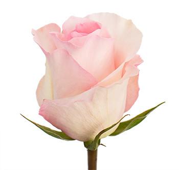 Розы сорт Christa оптом из Эквадора