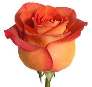 Заказать теракотовую розу оптом из Эквадора