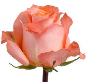 Заказать коралловую розу