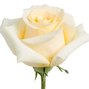 Заказать розу Creme de la Creme оптом из Эквадора