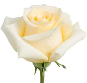 Оптовые поставки кремовых роз из Эквадора