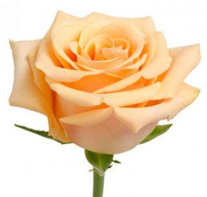 Абрикосовая роза оптом из Эквадора