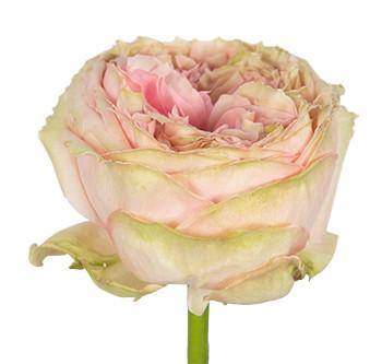 Розы сорта Pride of Jane оптом из Эквадора