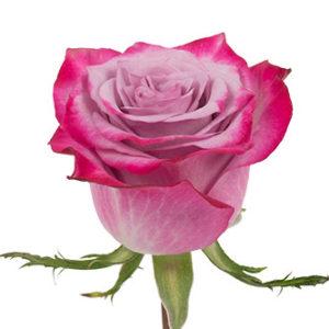 Оптовые поставки розы сорта Deep Purple из Эквадора