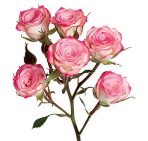 Заказать кустовую розу из Эквадора