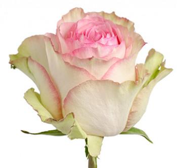 Розы сорта Esperance оптом из Эквадора