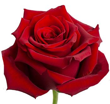 Розы сорта Explorer оптом из Эквадора