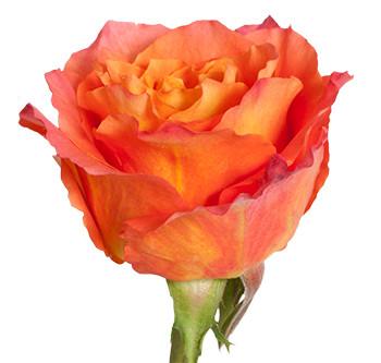 Оптовые поставки розы сорта Free spirit из Эквадора