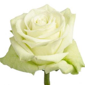 Оптовые поставки розы сорта Green Tea из Эквадора