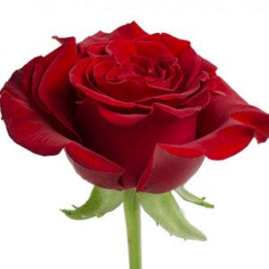 Заказать розы сорта Hearts оптом из Эквадора