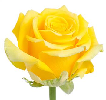 Розы сорта High Exotic оптом из Эквадора