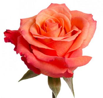 Розы сорта High Happy оптом из Эквадора