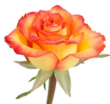 Розы сорта High Magic оптом из Эквадора