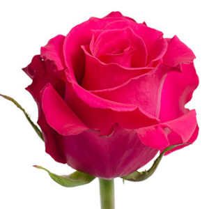 Заказать оптом розы сорта Hot Lady из Эквадора