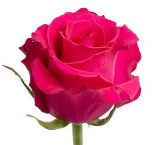 Заказать ярко розовую розу из Эквадора