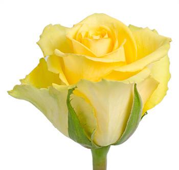 Розы сорта Idole оптом из Эквадора