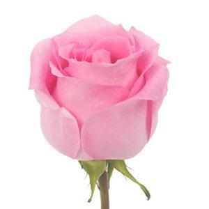 Оптовые поставки розы сорт Impression из Эквадора