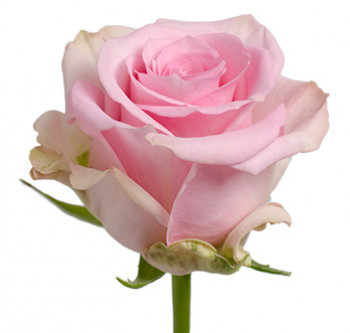 Розы сорт Jessika оптом из Эквадора