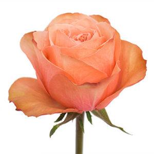 Розы сорта Kahala оптом из Эквадора