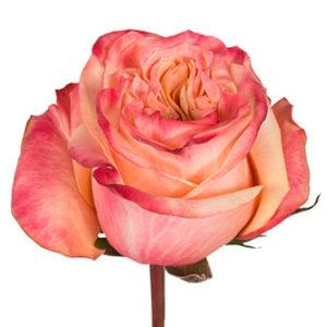 Розы сорта Lovely оптом из Эквадора