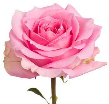 Розы сорт Martina оптом из Эквадора