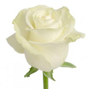 Розы сорта Mondial оптом из Эквадора