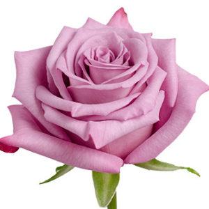 Розы сорта Moody Blues оптом из Эквадора
