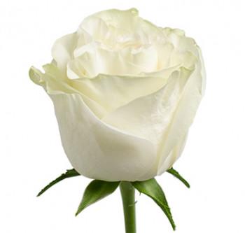 Розы сорта Moonstone оптом из Эквадора