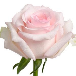 Розы сорт Nena оптом из Эквадора