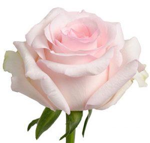 Заказать оптом Розовую розу