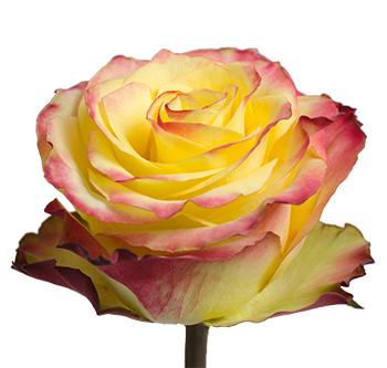 Розы сорта News Flash оптом из Эквадора
