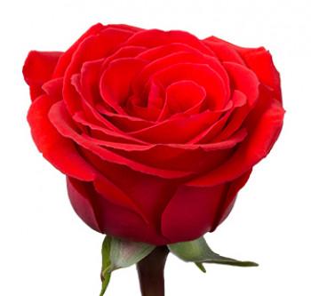 Розы сорта Nina оптом из Эквадора