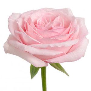 Розы сорта OHara оптом из Эквадора