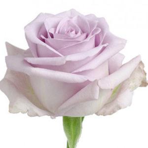 Оптовые поставки розы сорта Ocean Song из Эквадора