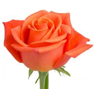Оптовые поставки оранжевой розы из Эквадора